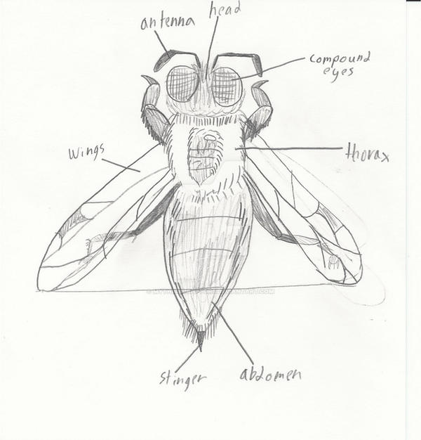 Bumble Bee Anatomy By Mythicalraptor3 On Deviantart