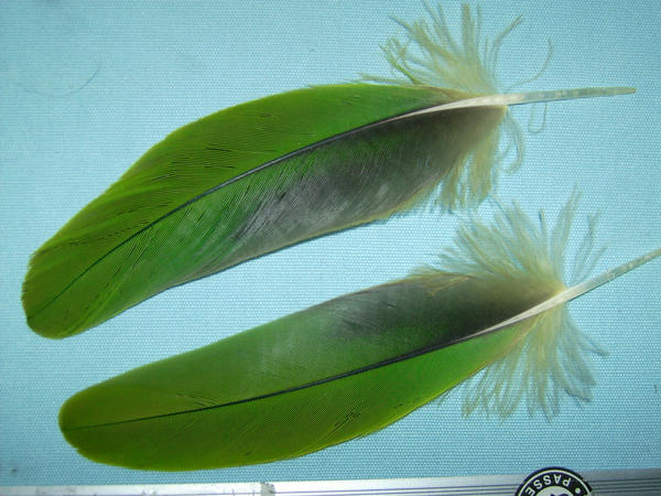 Parrot feathers - photo#12