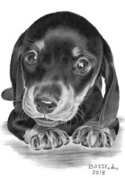 Dachshund Puppy 2