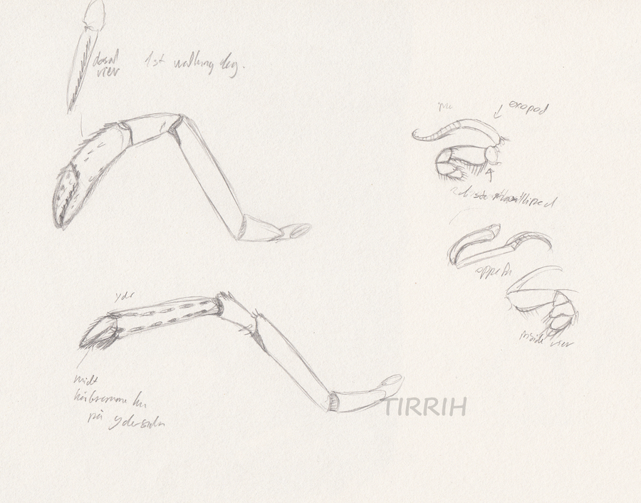 lobster anatomy study 2 by Tirrih on DeviantArt