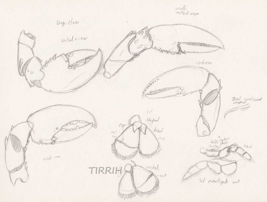 lobster anatomy study 3 by Tirrih on DeviantArt