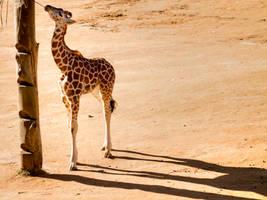 Baby Giraffe by nordynz