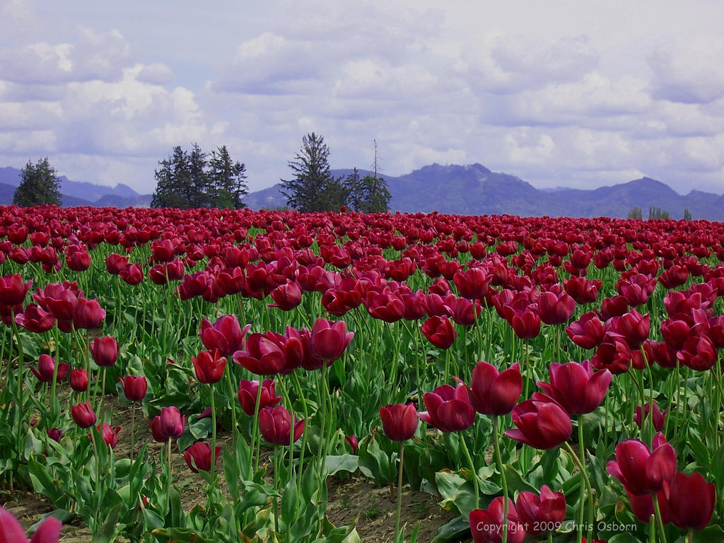 Tulip Fields by cjosborn