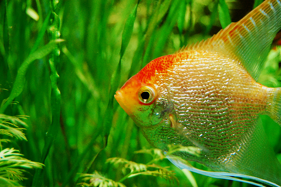Pearly gold angelfish