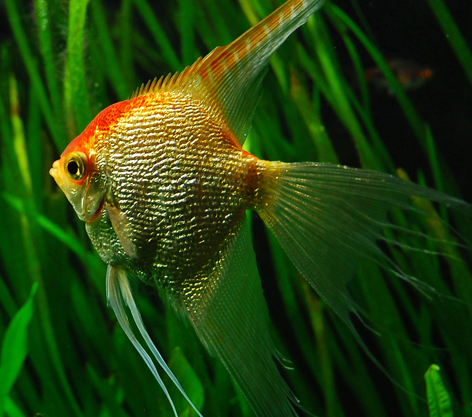 Gold angelfish 6 by isabellany on deviantart for Freshwater angel fish