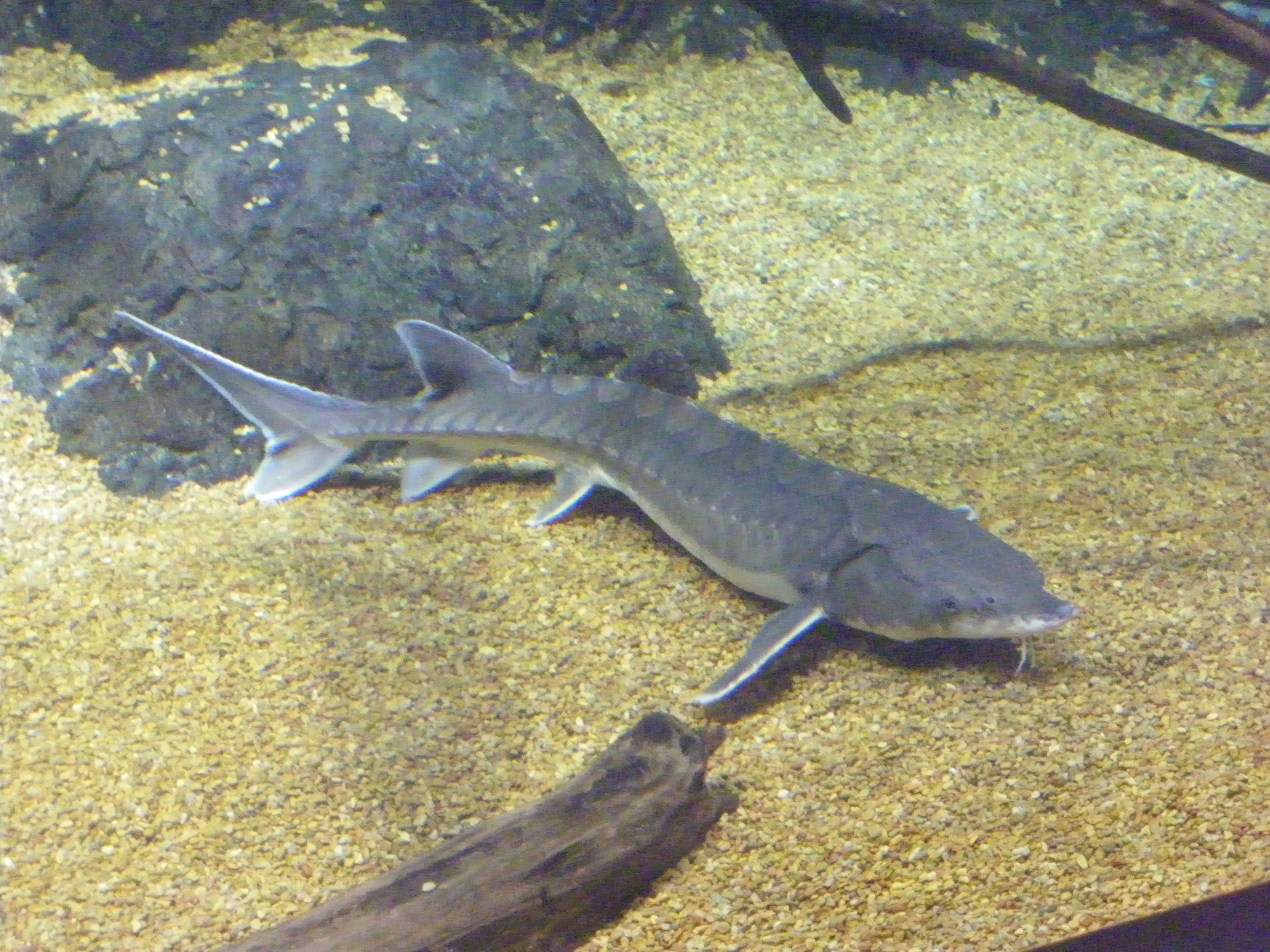 Baby atlantic sturgeon