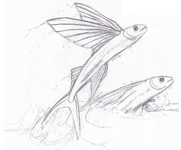 Flying fish drawing for Flying fish drawing