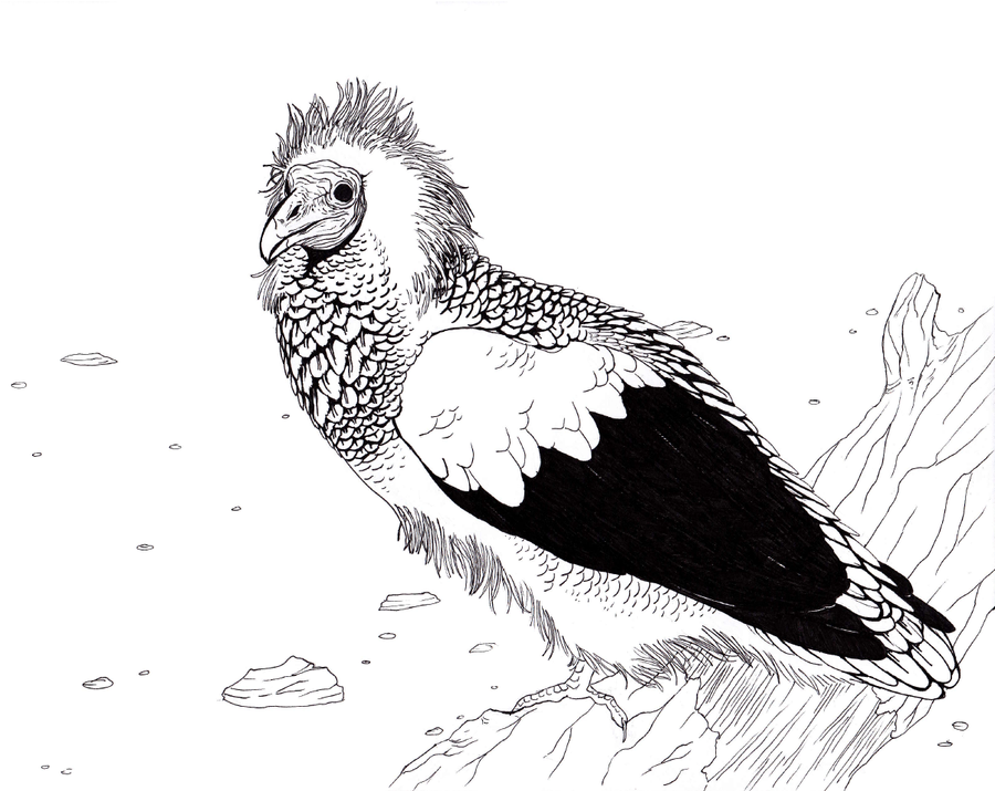 egyptian vulture drawing - photo #21