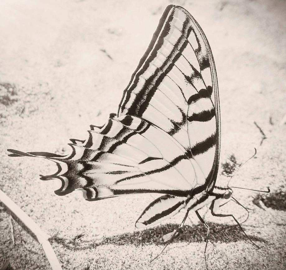 butterfly by tacowalrus