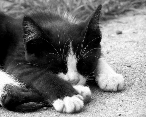 Black and white kitten by horsehead520