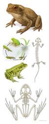 Amphibians by jrtracey