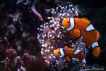 Nemo by Gallynette