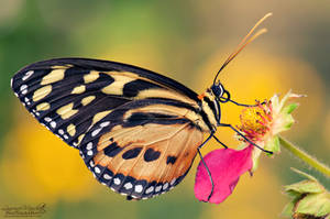Tiger longwing by Gallynette