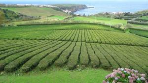 Gorreana-Tea-Azores 9