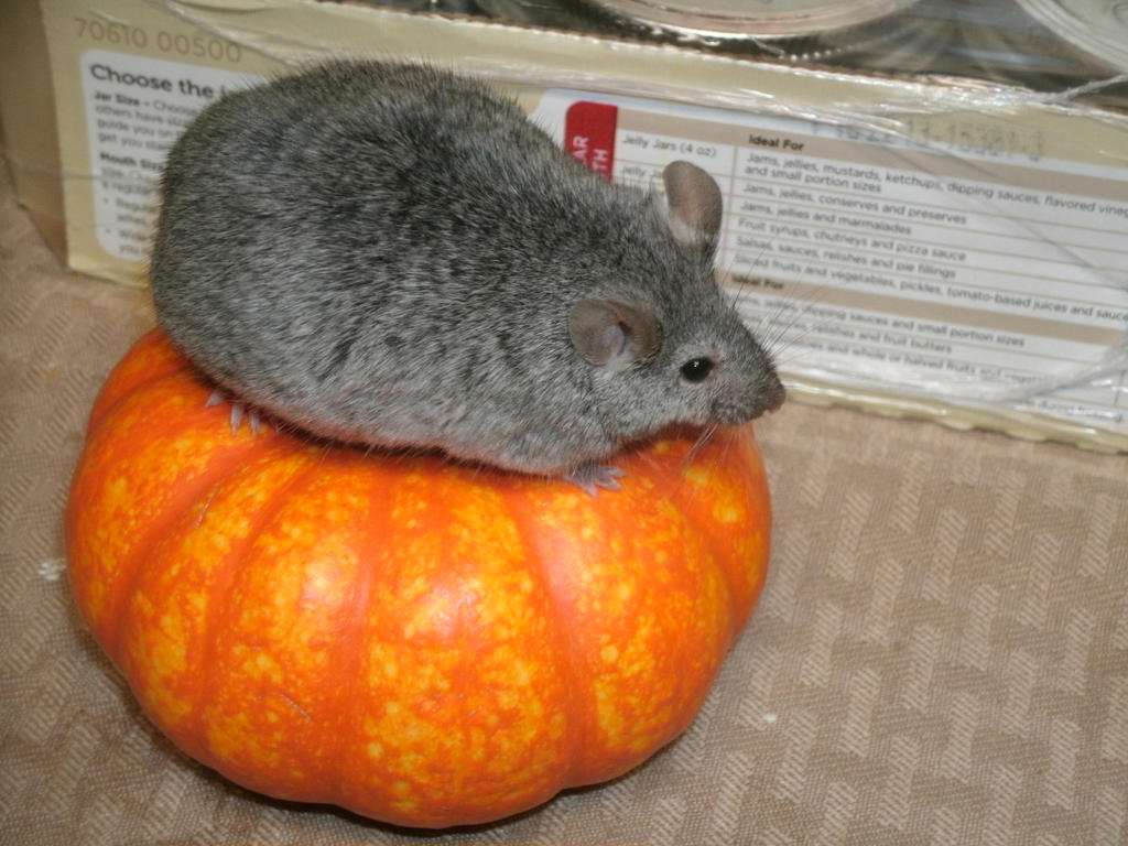 Cute Chubby Mouse on Tiny Pumpkin by LazuriteStar