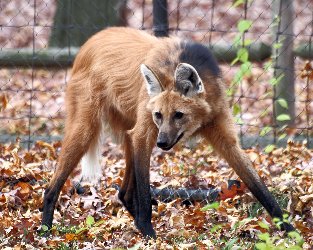 Maned Wolf 11, Beardsley Zoo, 2009-11-06 by darkspeeds