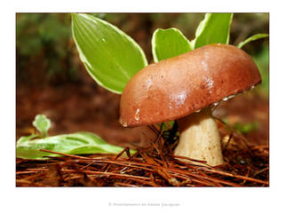 mushroom by ideastep