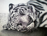 White Bengal, in pen and ink