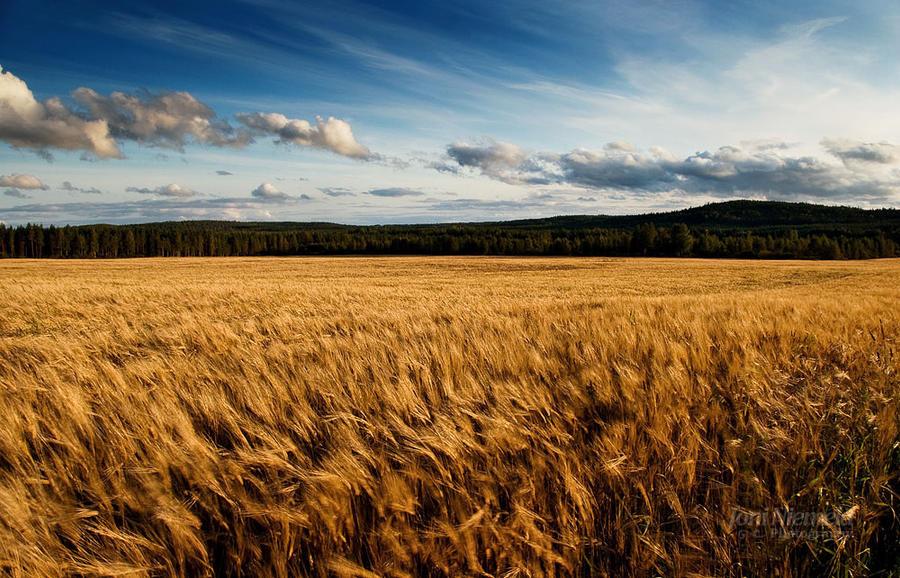 barley fields by nitrok -#main