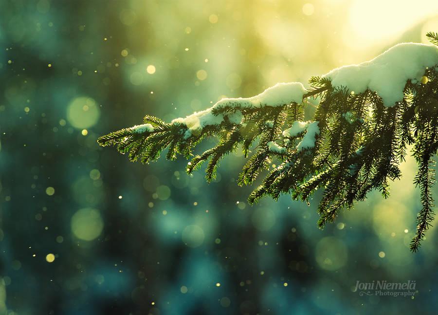 Pine Needles In The Snowfall by JoniNiemela
