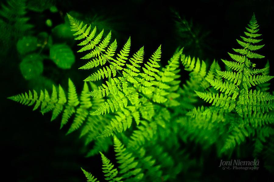 Ferns by JoniNiemela
