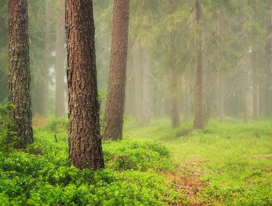 Misty Woods by Nitrok