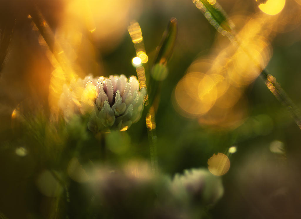 White Clover by Nitrok