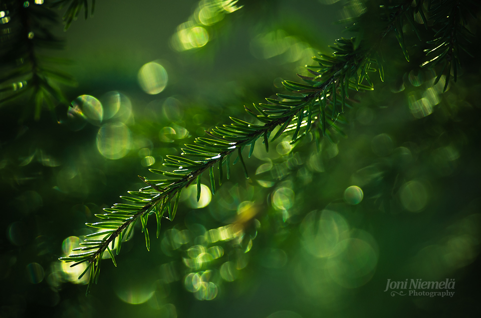 Pine Needles Of The Spring by Nitrok