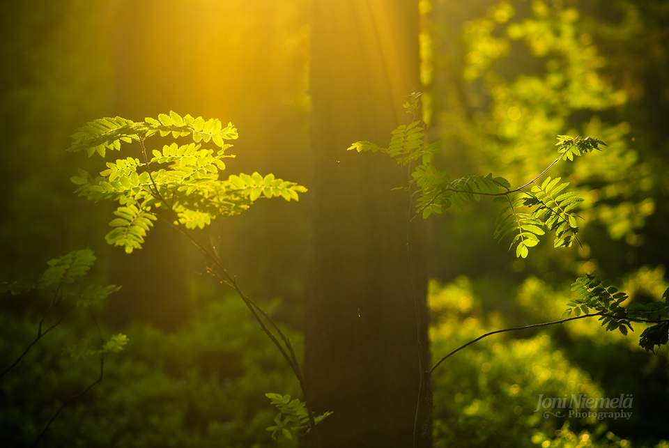 Summer Forest by JoniNiemela