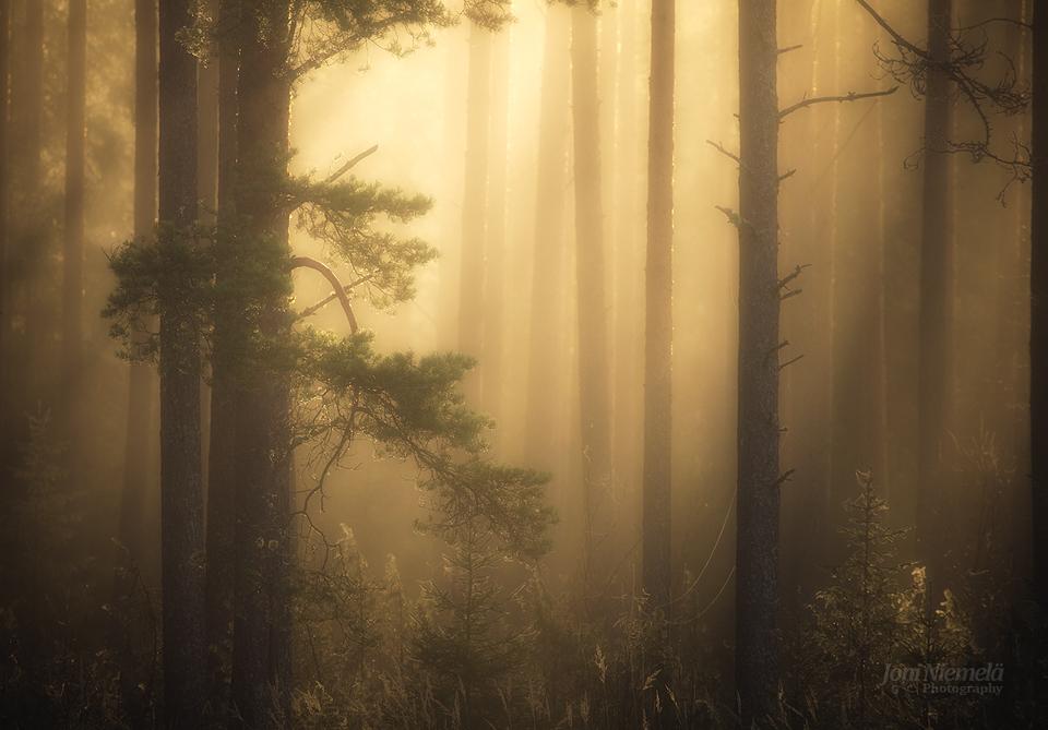 Foggy Pine Forest by JoniNiemela