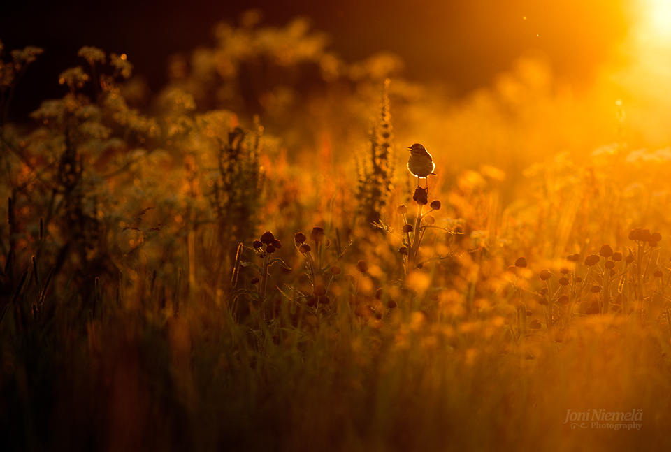 Summer evening and Whinchat