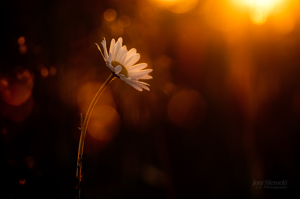 Morning Daisy by JoniNiemela