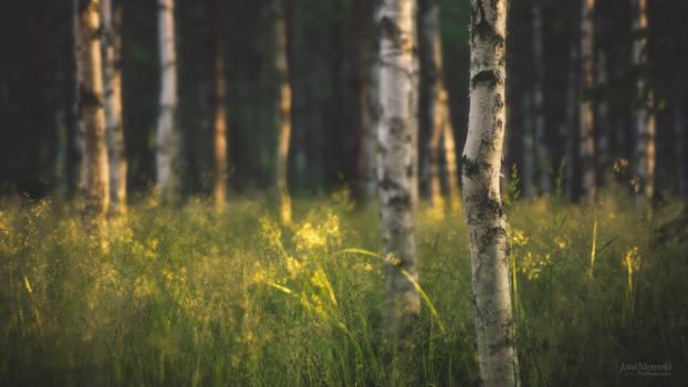 Summer Birch Forest (Wallpaper)