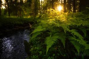 Forest Of Ferns by JoniNiemela