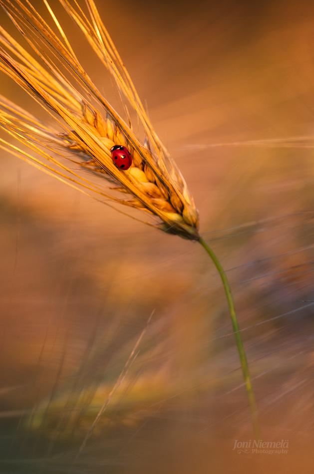 Ladybug in the evening light by JoniNiemela