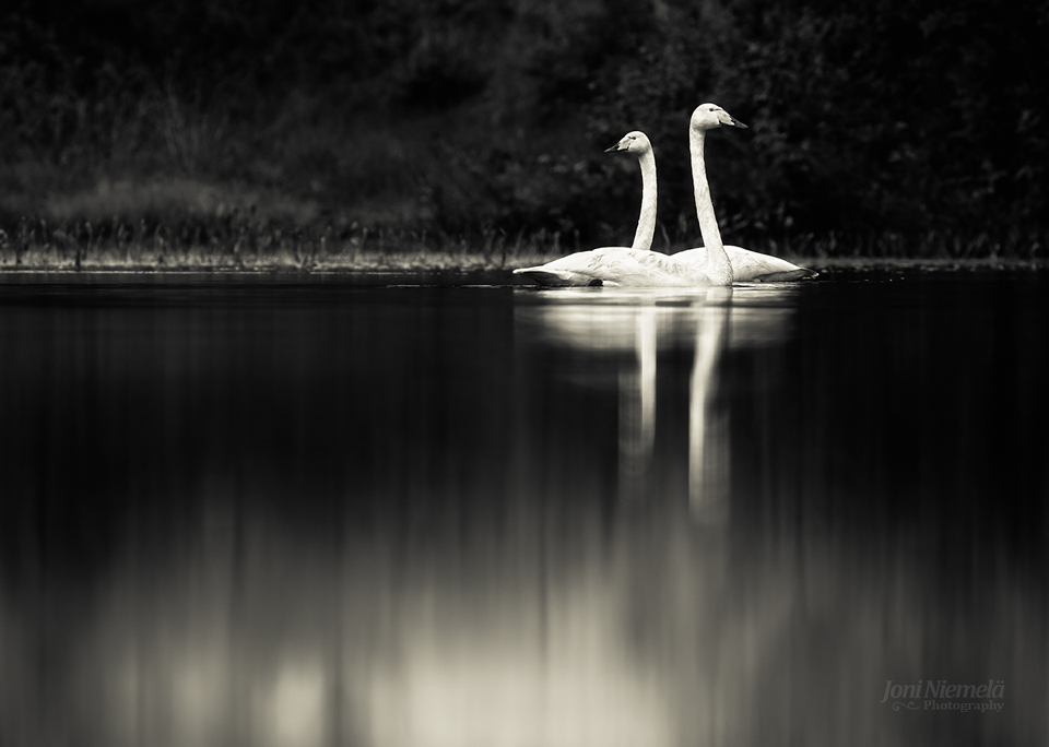Two Swans by Nitrok