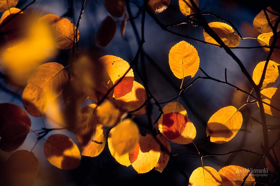 Autumn Tones III by JoniNiemela