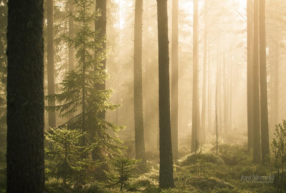 Spruce by JoniNiemela