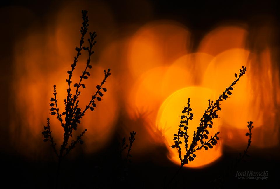 Sunset Heathers by JoniNiemela