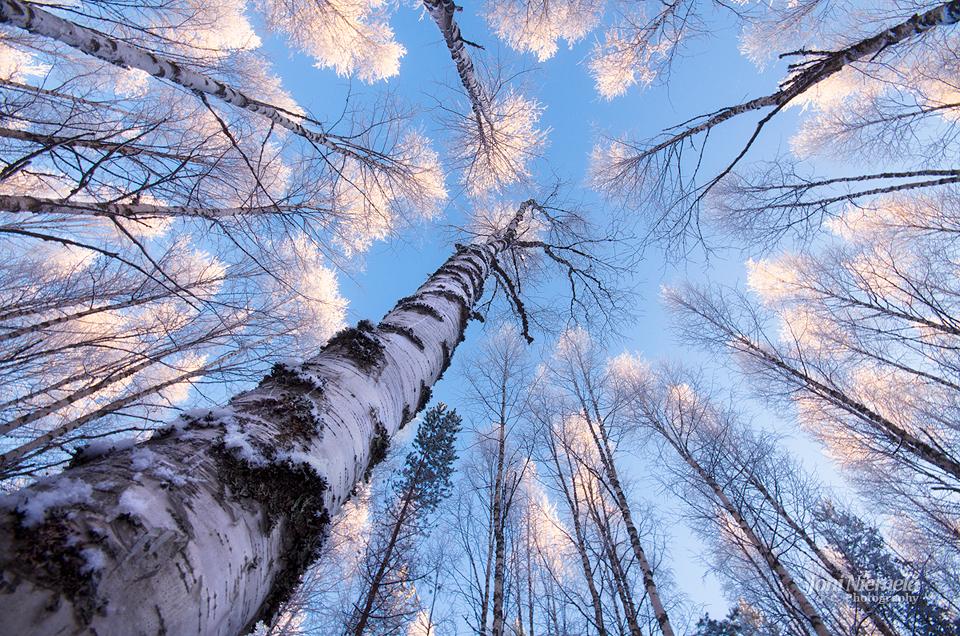 White Treetops by JoniNiemela