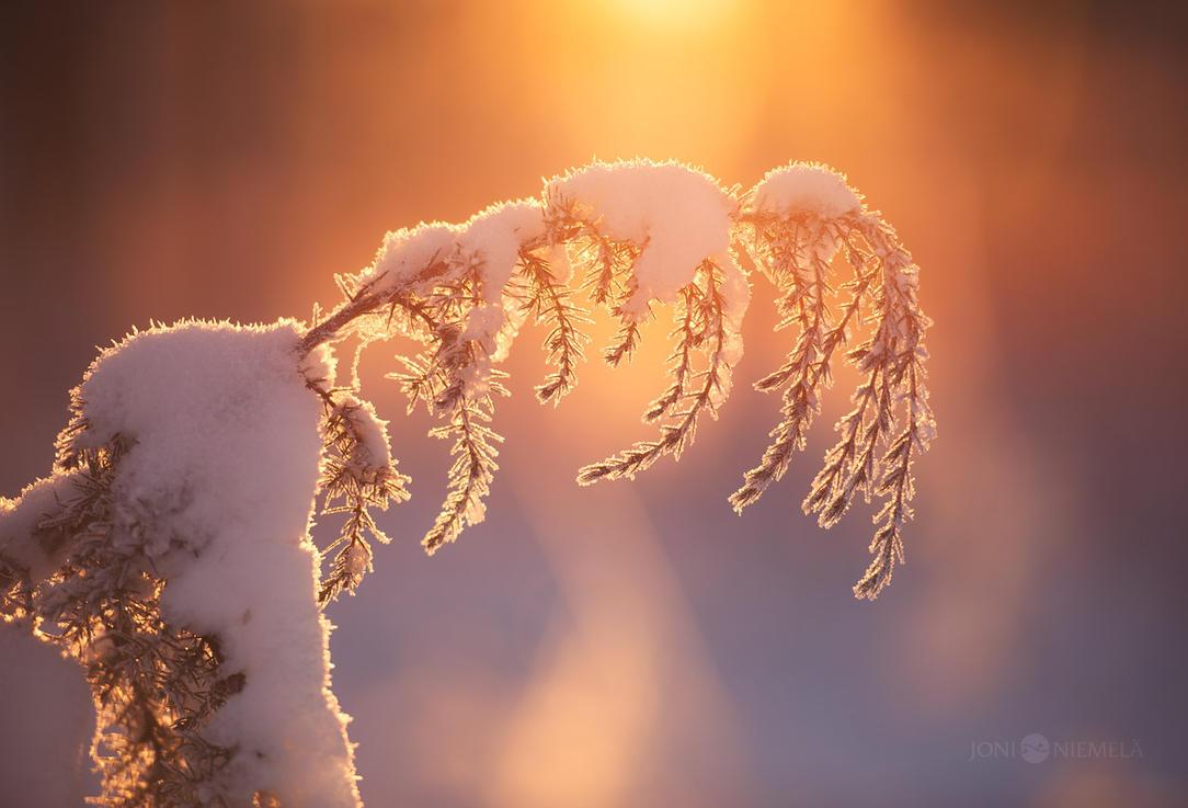 Winter Juniper by JoniNiemela