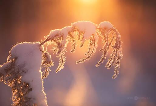 Winter Juniper