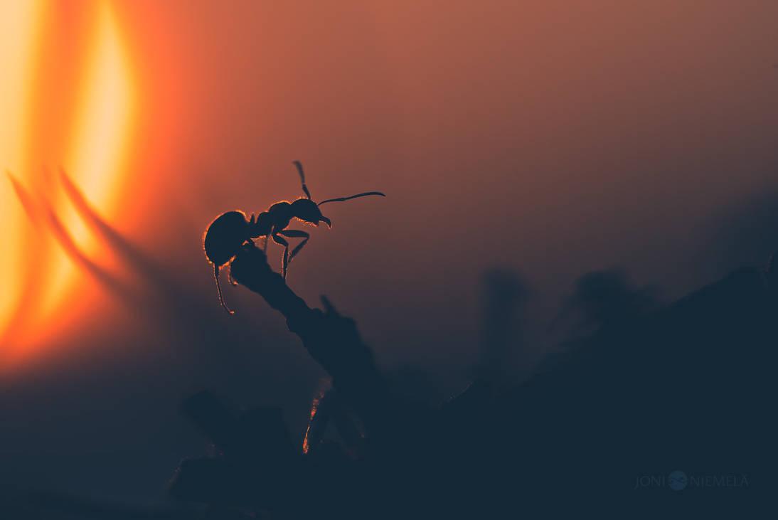 Ant At Sunset by JoniNiemela
