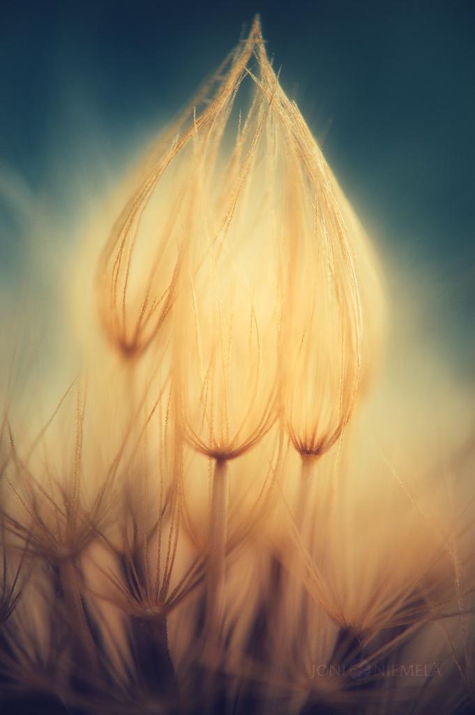 Golden Seeds by JoniNiemela