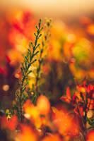 Autumn Heathers