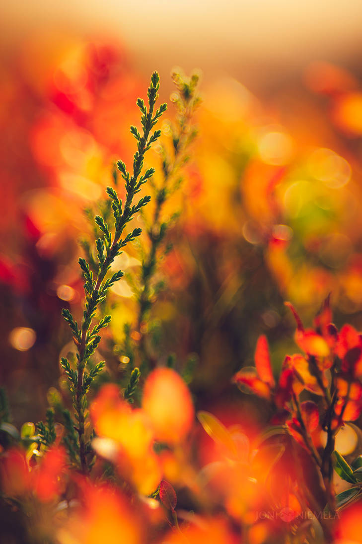 Autumn Heathers by JoniNiemela
