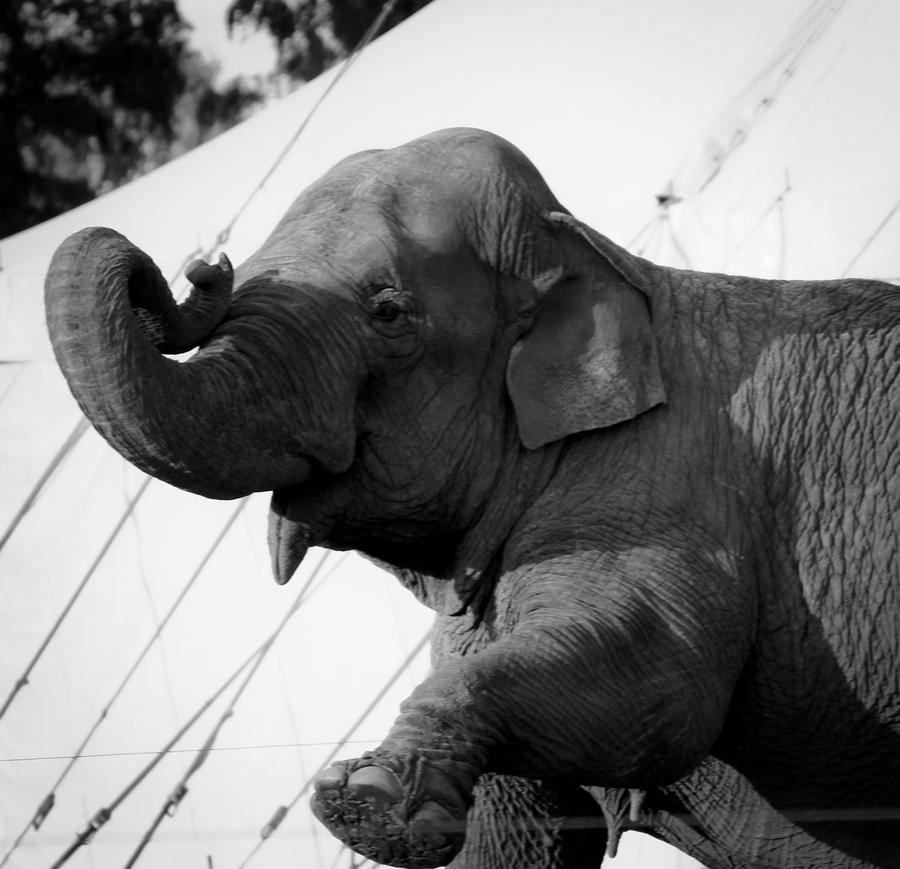Laughing Elephant by shantasphotos