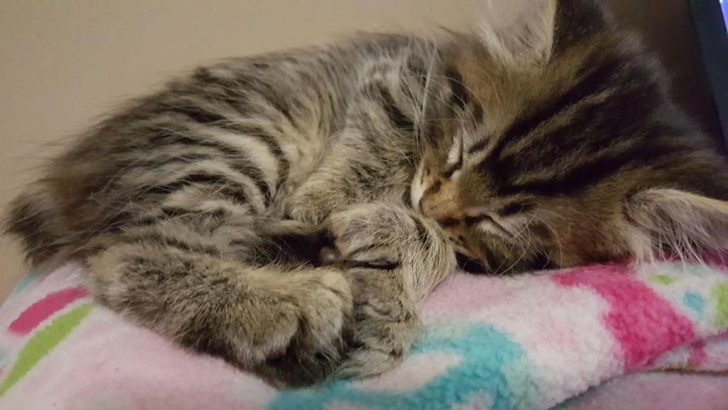 The Kitten - Jax! by Wild-Firepaw