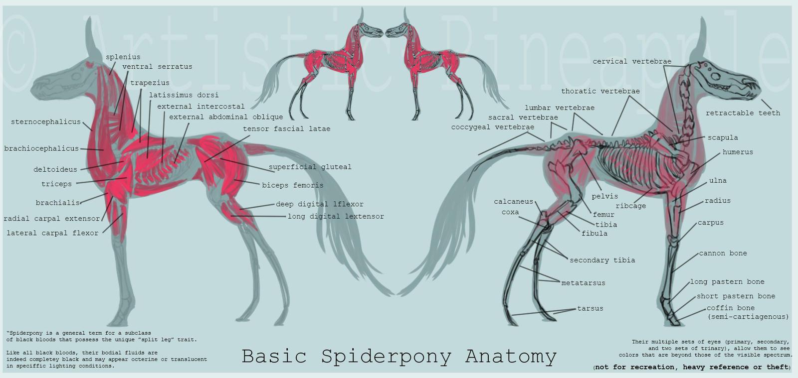 Basic Spiderpony Anatomy by Artistic-Pineapple on DeviantArt