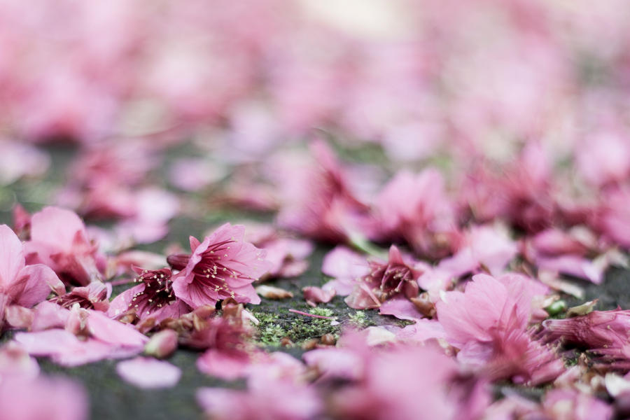Falling Blossoms by Futz5